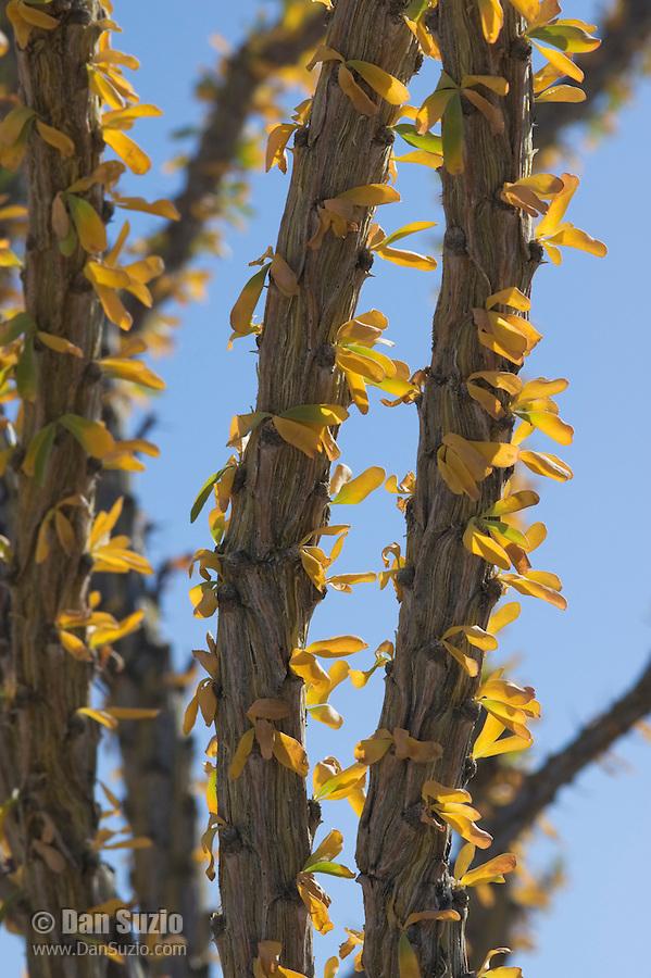 Ocotillo, Fouquieria splendens, Imperial County, California