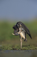Tricolored Heron, Egretta tricolor,adult, Lake Corpus Christi, Texas, USA