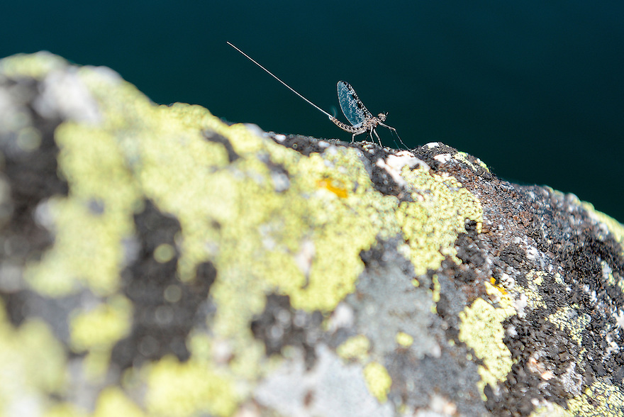 A Callibaetis mayfly clings to a rock at Lake of the Isle in the Pintler Mountains outside Anaconda, Montana.