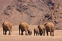 Namibia;  Namib Desert, Skeleton Coast,  desert elephant (Loxodonta africana) breeding herd walking across barren plain