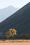 Grazing cattle, Jobs Peak, colorful orange and golden cottonwood tree in the Carson Valley, autumn