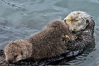 Sea Otter (Enhydra lutris) mom with very young pup in sheltered bay on Prince William Sound, Alaska.  Spring.   Mom is resting while pup nurses.