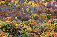 Colorful stand of autumn trees, Pennsylvania, USA