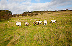 Sheep grazing, Fyfield Down national nature reserve, Marlborough Downs, Wiltshire, England, UK