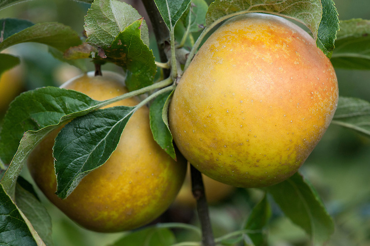 Apple 'Golden Russet', early October. An American variety that originated in upstate New York in the 19th century.
