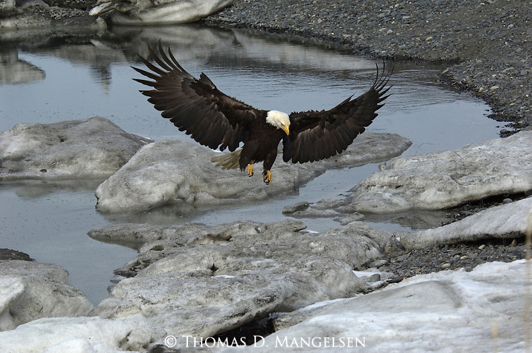 A bald eagle landing on pile of snow in Homer, Alaska.