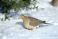 01081-00818 Mourning Dove (Zenaida macroura) feeding on ground in winter Marion Co.  IL