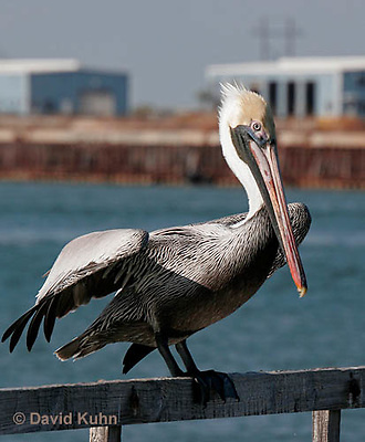0307-0821  Brown Pelican, Pelecanus occidentalis © David Kuhn/Dwight Kuhn Photography.