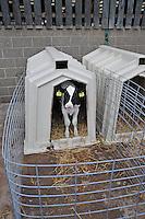 Holstein calf in a calf hutch....Copyright..John Eveson, Dinkling Green Farm, Whitewell, Clitheroe, Lancashire. BB7 3BN.01995 61280. 07973 482705.j.r.eveson@btinternet.com.www.johneveson.com