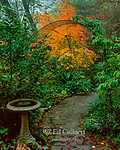 Garden Path, Japanese Maple, Cypress Garden, Mill Valley, California