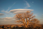 Wave clouds and bare cottonwood tree, end of winter, Lahotan, Nev.