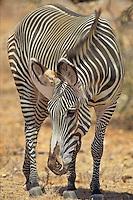 Grevy's Zebra (Equus grevyi) Samburu National Reserve, Kenya.