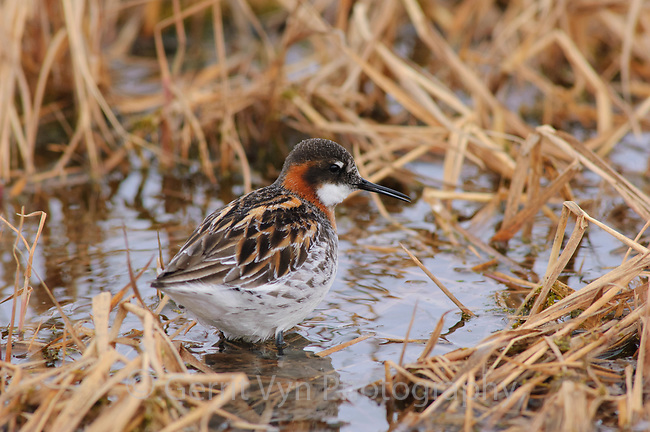 Adult female Red-necked Phalarope (Phalaropus lobatus) in early breeding plumage. Arctic Coastal Plain, Alaska. June.