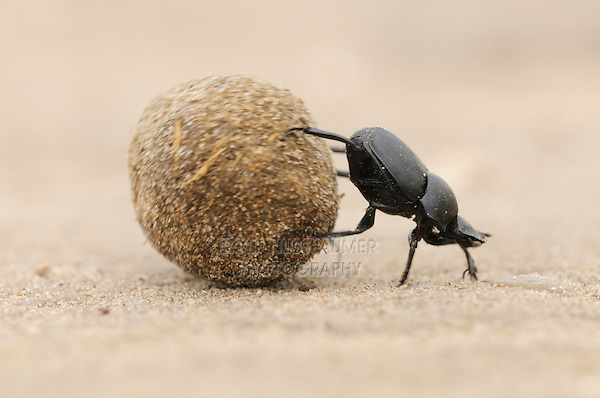 Dung Beetle (Scarabaeinae), adult rolling dung ball,  Laredo, Webb County, South Texas, USA