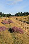 Heather plants, Calluna vulgaris, purple flowers, heathland vegetation, Sutton Heath, Suffolk Sandlings, near Shottisham, England, UK