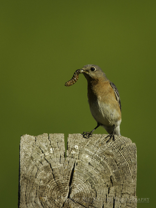 Eastern Bluebird female with worm