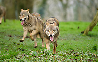 BNPS.co.uk (01202 558833)<br /> Pic: CalebHall/Longleat/BNPS<br /> <br /> Wolves in their enclosure. <br /> <br /> Longleat Safari Park has been showing the public what they've been missing during the lockdown by releasing a candid collection of pictures of their famous collection of big cats.<br /> <br /> The Wiltshire park is currently closed to the public due to COVID-19 but has been giving animal lovers an insight into the animals.<br /> <br /> They have snapped the iconic lions in a number of spots around their enclosure as well as a series of photographs of their tigers.