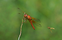 389140014 male neon skimmer libellula crociepennis perches on a dead twig along a creek in marijilda canyon in graham county arizona