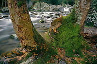 American sycamore and Big Creek<br />