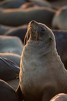 Portrait of a Cape Fur Seal (back-lit).