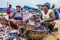 Negombo fish market (Lellama fish market), photo of women gutting fish, Negombo, West Coast of Sri Lanka, Asia. This is a photo of women gutting fish at Negombo fish market (Lellama fish market), Negombo, West Coast of Sri Lanka, Asia.