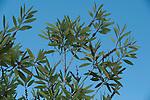 Leaves against blue sky background, Palmarium, Ankanin'ny Nofy, Madagascar