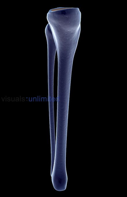 A medial view of the bones of the left leg. Royalty Free