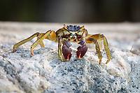 Shore crab (grapsus albolineatus) on rock, Gangehi Island, Ari Atoll, Indian Ocean, Maldives, Asia