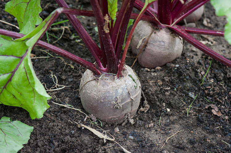 Beetroot 'Boltardy', early August.