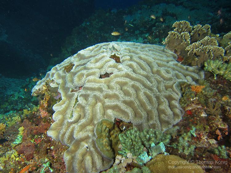 Orchid Island (蘭嶼), Taiwan -- Brain coral at Jichang Waijiao (機場外礁)