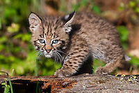 Young Bobcat standing on an old log - CA