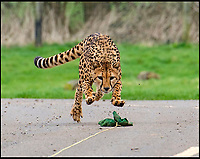 BNPS.co.uk (01202 558833)<br /> Pic: IanTurner/BNPS<br /> <br /> Mum Wilma shows the two young cubs how to chase down prey.<br /> <br /> Two cheeky cheetah cubs have proven they were born to run - showing off their impressive speed for the first time.<br /> <br /> The six-month-old rare twins Poppy and Winston, the first cheetahs ever to be born at Longleat Safari Park in Wiltshire, have started developing the hunting skills they would need in the wild.<br /> <br /> Keepers at the wildlife park set up a speeding lure, similar to those used at greyhound races, to put the youngsters through their paces.