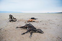 Dead cattle at a dried-up lake bed on the way to Paola Mares´  Wagu Beef ranch: Rancho de Campo Libre in Canatlan, Durango, Mexico