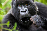 A female gorilla forages for food in the jungle of Rwanda's Virunga Mountains.
