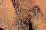 Elephant, Loxodonta africana, close-up detail, Addo National Park, Eastern Cape,South Africa