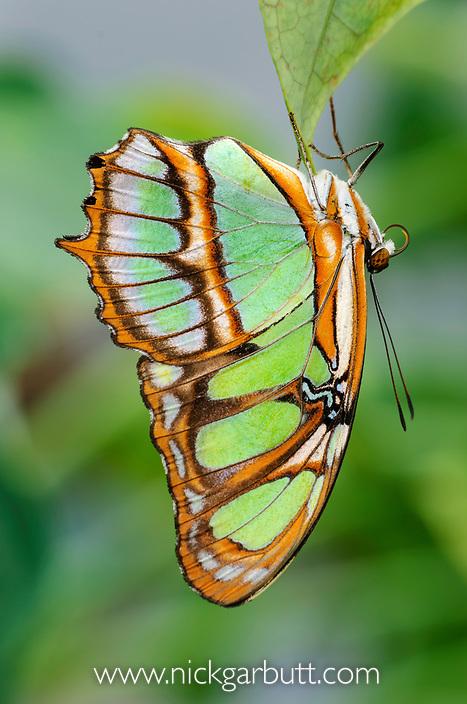 Malachite Butterfly (Siproeta stelenes) forest near Napo River, Amazonia, Ecuador