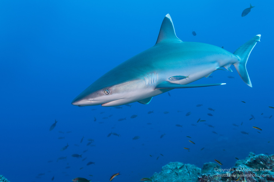 San Benedicto Island, Revillagigedos Islands, Mexico; a silvertip shark swimmingn over the rocky reef
