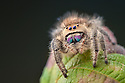 Regal Jumping Spider {Phidippus regius} female. Captive, originating form North America. website