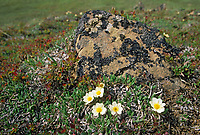 Mountain Avens on tundra, Denali National Park, Alaska