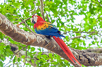 scarlet macaw, Ara macao, on a branch in a tree, Guanacaste Province, Costa Rica, Central America