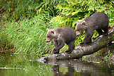 USA, Alaska, grizzly bear cubs walking down into the water, Redoubt Bay