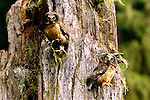 Saw-whet owlets in tree cavity