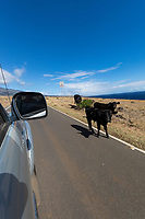 Cattle on Piilani Highway, Kaupo, Maui.
