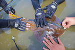 Measuring Thornback Ray
