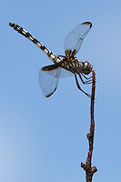 The Checkered Setwing (Dythemis fugax) occurs in the U.S, mainly in Texas and Oklahoma.