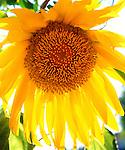 USA, California, San Diego.  Mammoth Sunflower