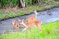 Florida Everglades deer are smaller than northern deer, and can often be viewed early morning or early evening in areas not often frequented by humans. The white spots indicate a fawn.
