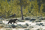 A grizzly bear sow walks in a frost-covered meadow in Yellowstone National Park, June 4, 2011. Photo by Gus Curtis.