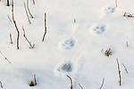Coyote tracks in the snow.