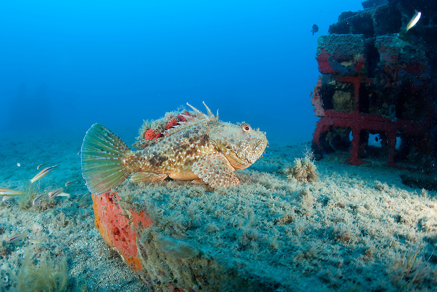 Red scorpionfish (Scorpaena scrofa) lying on the artificial reef, Larvotto Marine Reserve, Monaco, Mediterranean Sea<br /> Mission: Larvotto marine Reserve